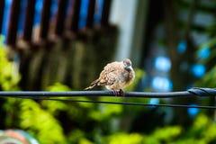 斑马鸠Geopelia striata,鸟 库存图片