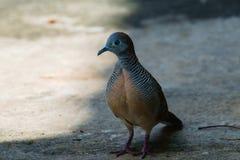 斑马鸠Geopelia striata,鸟 图库摄影