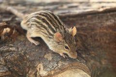 斑马鼠标 库存图片