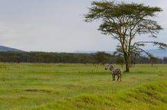 斑马, Nakuru 免版税库存图片