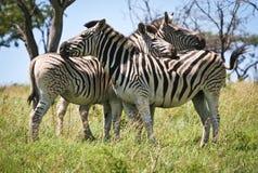 斑马, Umfolozi,南非 免版税库存图片