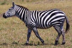 斑马-徒步旅行队肯尼亚 图库摄影