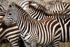 斑马(肯尼亚) 库存照片