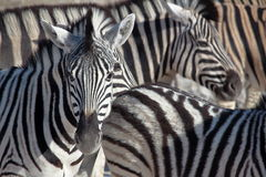 斑马画象在Etosha,纳米比亚 库存图片
