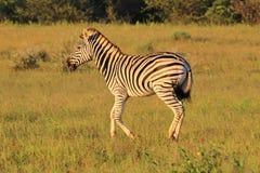 斑马-非洲野生生物背景-跑的条纹 免版税库存照片