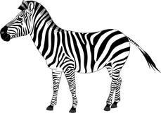 斑马 免版税图库摄影