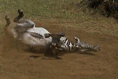 斑马 免版税库存照片