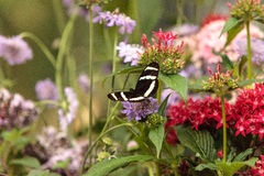 斑马longwing的蝴蝶, Heliconius charitonius 库存图片