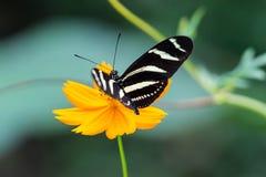斑马Longwing, Heliconius Charitonia,蝴蝶-哥斯达黎加 库存照片