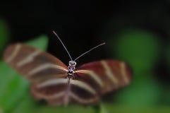 斑马Longwing蝴蝶宏观头  免版税库存图片