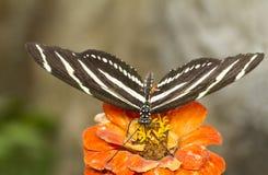 斑马Longwing蝴蝶 免版税库存照片