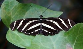 斑马Longwing蝴蝶 库存图片