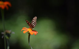 斑马Longwing蝴蝶 库存照片