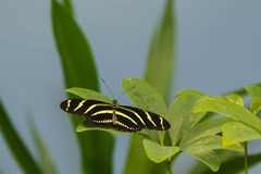 斑马Longwing蝴蝶 免版税图库摄影