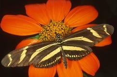 斑马Longwing蝴蝶 图库摄影