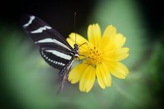 斑马Longwing Heliconius charitonius 免版税库存图片