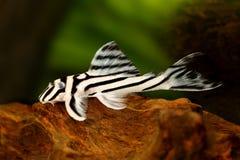 斑马Pleco L-046 Hypancistrus斑马Plecostomus水族馆鱼 免版税库存图片