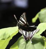 斑马Swallowtail蝴蝶 免版税库存照片