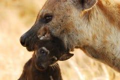 斑鬣狗hyaena察觉了 免版税图库摄影