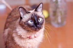 斗眼的Birmanese猫 免版税库存图片
