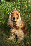 斗鸡家外部坐的西班牙猎狗 免版税库存照片