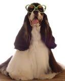 斗鸡家滑稽的纵向西班牙猎狗 免版税库存图片