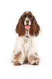 斗鸡家狗坐的西班牙猎狗 库存图片