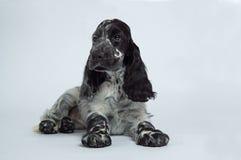 斗鸡家狗英语西班牙猎狗 免版税库存照片