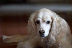 斗鸡家看起来哀伤的西班牙猎狗 库存图片