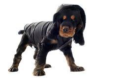 斗鸡家穿戴了西班牙猎狗 图库摄影
