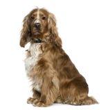 斗鸡家英国坐的西班牙猎狗 图库摄影