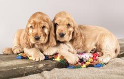 斗鸡家英国小狗西班牙猎狗 免版税图库摄影