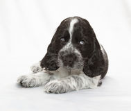 斗鸡家英国小狗西班牙猎狗 库存图片