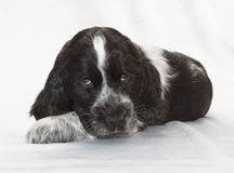 斗鸡家英国小狗西班牙猎狗 免版税库存图片