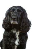 斗鸡家英国查出的西班牙猎狗白色 免版税库存图片