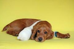 斗鸡家英国病的西班牙猎狗 免版税库存图片
