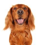 斗鸡家英语西班牙猎狗 免版税图库摄影