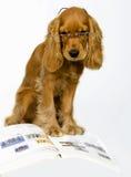 斗鸡家英语西班牙猎狗 库存照片
