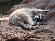 斜倚的浣熊 免版税库存照片