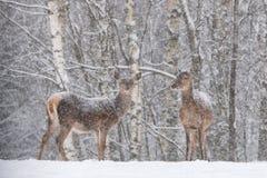 斜向一边两个积雪的美好的女性雷德迪尔鹿Elaphus立场反对斯诺伊森林和雪花 让它下雪: 免版税库存照片