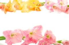 斜向一边二朵颜色剑兰花 免版税库存图片