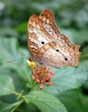 斜向一边白色孔雀铗蝶在桃红色花。 图库摄影