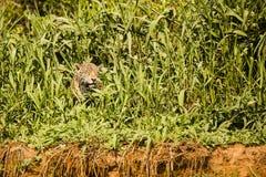 斜眼看在明亮的太阳的野生捷豹汽车通过河岸草 库存图片