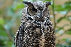 斜眼看在照相机的猫头鹰 免版税库存照片