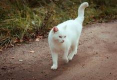 斜眼看白色无家可归的美丽的猫步行沿着向下路,凝视和,关闭  一只孤独的离群猫寻找一个房子和 库存图片