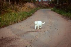 斜眼看白色无家可归的美丽的猫走在路,凝视和 一只孤独的离群猫正在寻找一个房子和一个所有者 库存图片