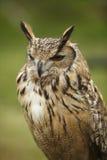 斜眼看的猫头鹰 库存图片