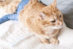 断猫姜行程 免版税库存照片
