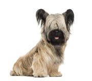 斯凯岛狗开会,被隔绝 免版税库存图片