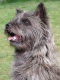 从斯凯岛,苏格兰的石标狗画象 免版税库存图片